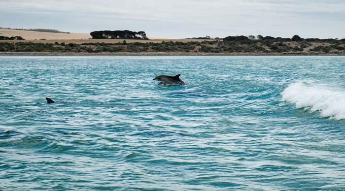 swim with dolphins on kangaroo island