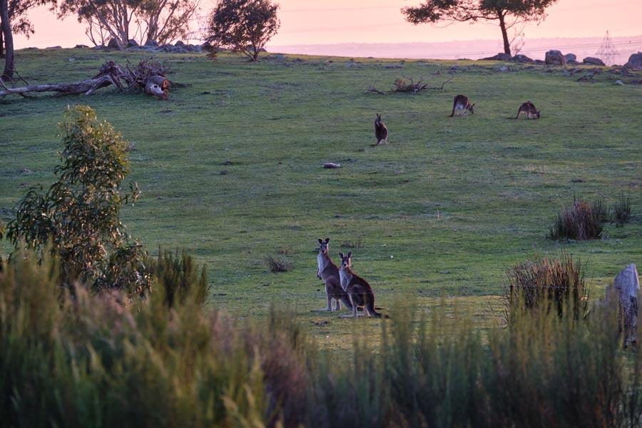 kangaroos01